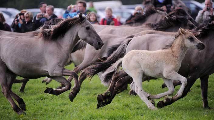 nature-duelmen-horse-wild-horses-international-green-week_a